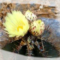 Цветет кактус. :: Чария Зоя