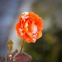 Зимняя роза. :: Виталий Латышонок