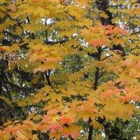 Осенний клён :: Валюша Черкасова