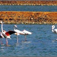 Фламинго :: Igor P