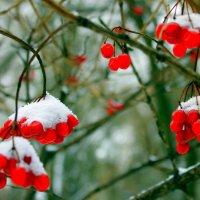 Калина под снегом, как капельки крови, то осень оставила в зиму приветик. :: Валентина ツ ღ✿ღ