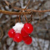 Калинка под снежным сахаром :: °•●Елена●•° Аникина♀
