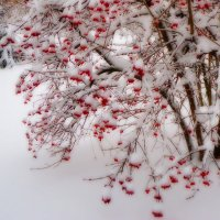 Калина в снегу :: Виктория Власова