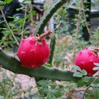 Плоды кактуса :: татьяна петракова