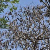 Летучие лисицы в Королевском ботаническом саду. Flying Foxes at the Royal Botanical Gardens. :: Юрий Воронов