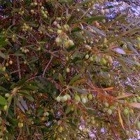 Оливковое дерево. :: Мила Бовкун