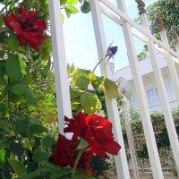О , роза красная ! :: Мила Бовкун