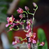 Мини орхидея. :: Paparazzi