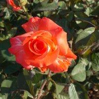 роза :: Наталья А