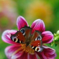 Сборщица нектара :: Виктор Берёзкин