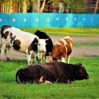 Возле быка и травка слаще :: Сергей Чиняев