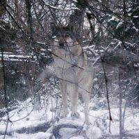 А это я - волк,зубами щёлк :: Владимир Гилясев