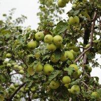 Богатая яблоня :: Татьяна Тимофеева