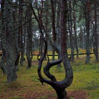 Лес танцующий. :: Алексей Сараев