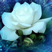 Зимняя роза. :: Елена
