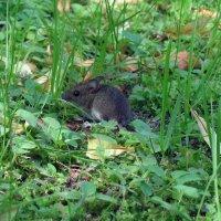 мыша (полёвка) :: Алексей Цветков