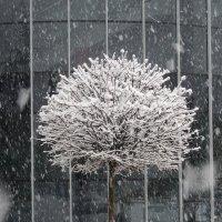 Серия деревья. Снегопад. :: Вячеслав Медведев