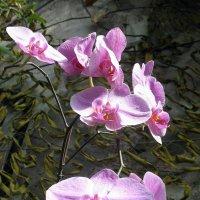 Орхидея фаленопсис :: Елена Павлова (Смолова)