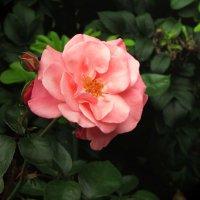 Когда цвели розы на излёте лета... :: Ирина Румянцева