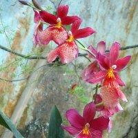 Орхидея Камбрия :: Елена Павлова (Смолова)