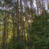 Солнечный лес :: Надежда Чернышева