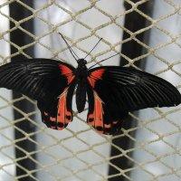 Парусник Румянцева (лат. Papilio rumanzovia) :: Елена Павлова (Смолова)