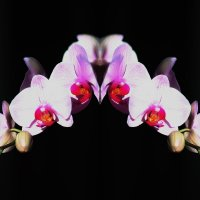 Орхидеи :: Валерий Лазарев