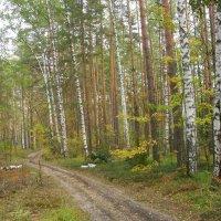 Берёзы, сосны и клёны в мещерском лесу заселёны... :: Виктор Мухин