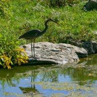Эта птица живет свободно на острове. Не улетает... :: Юрий Поляков