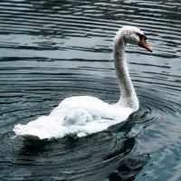 А белый лебедь на пруду... :: Нина
