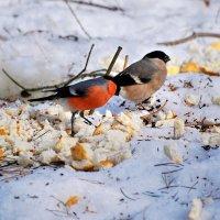 снегири :: linnud