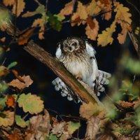 Болотная сова :: vovafritz