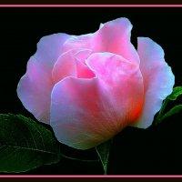 Утренние розы 4 :: Владимир Хатмулин