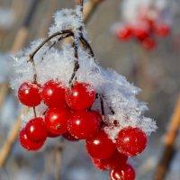 Калина - лучшая фотомодель зимой :: Татьяна Ракутина