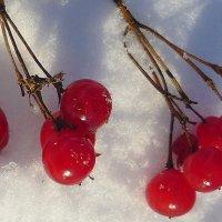 На снегу калина.... :: Павлова Татьяна Павлова