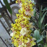 Орхидея цвета солнца :: Елена Павлова (Смолова)