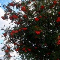 Гроздья красной рябины :: Нина Корешкова