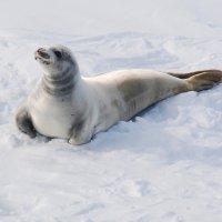 Тюлень крабоед :: Александр Терентьев