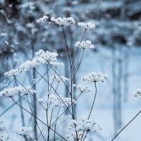 Зимние травы :: Вера Сафонова