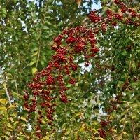 Осенние ягодки :: Светлана