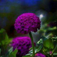красавица циния :: gribushko грибушко Николай