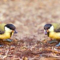 Синицы спорят о том, как правильно держать семечки в клюве) :: Богдан Петренко