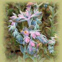 Цветок эхеверии. :: Валерия Комова