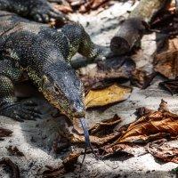 Комодский варан, или Комодский дракон — самая крупная современная ящерица! :: Александр Вивчарик