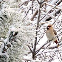 Свиристель и зимний лес. :: Hаталья Беклова