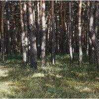 Деревья, освещенные солнцем :: Александр Максимов