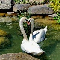 Белые лебеди :: Vladimir Lisunov