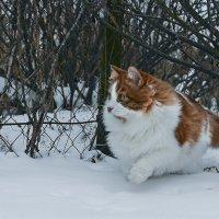 По первому снегу... :: Александр Бойко