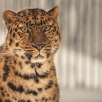 Дальневосточный леопард (самка) :: cfysx