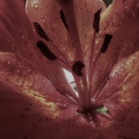 сердце лилии :: Роза Бара